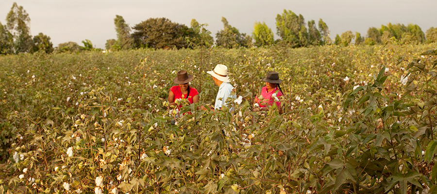 Peru is home to the finest cotton in the world